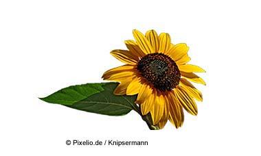 Sonnenblume aus Spanien